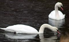 Swans (Yorkshire Images) Tags: birds cormorant yorkshirewildlifetrust northcavewetlandcentre