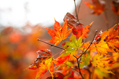 Resplendence (Fesapo) Tags: life autumn light red orange color colour green fall nature leaves yellow japan canon season death prime colorful dof bright bokeh foliage 7d shimane colourful  aki izumo resplendent   gakuenji 135mmf2l resplendence