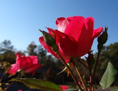 Rose in morning sun, sooc (Martin LaBar) Tags: morning flowers blue light red sky flower beautiful rose petals southcarolina buds bud lovely thorns rosaceae pickenscounty exceptionalflowers