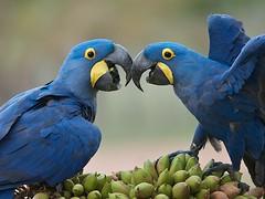 Hyacinth Macaw (Anodorhynchus hyacinthinus) (PeterQQ2009) Tags: brazil birds hyacinthmacaw anodorhynchushyacinthinus
