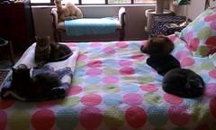Feline aesthetic arrangement (Philosopher Queen) Tags: cats zoe lucy bed mina kitties multiple cleo kayla