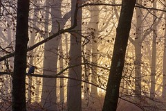 Winter Dawn Through the Woods (Steve Thompson images) Tags: autumn trees winter sun mist bird woodland landscape dawn grasmere lakedistrict cumbria thelakes canon70200l whitemoss ndgradfilter grasmereshore