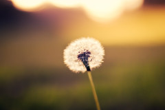 Dandelion (In my entirety) Tags: sunlight canon lens eos rebel 50mm gold kiss dof bokeh f14 dandelion shallow usm ef xsi x2 explored 450d