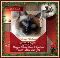 Merry Christmas and Happy New Year to all of you,  my dear Flickr friends! (Gabbcan) Tags: christmas cats cat kitten kat chat siamese gatos gato tonkinese merry siames katter gatto katzen gatinho   siamesische siamesi  blueeyes ojosazules kotkatt   gabbcan jazzthecat