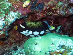 Manado 3-12-11 - 31 clown triggerfish by lakshmioct01, on Flickr