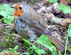 [[[red robin]]] (coral.hen4800) Tags: red food brown tree robin gray nuts seed allofnatureswildlifelevel1