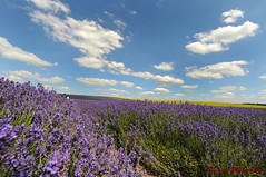 Summertime and the living is easy! (Tony Margiocchi (Snapperz)) Tags: greatbritain blue england sky colour landscape nikon purple britain scenic lavender mauve hertfordshire hitchin d3 lavenderfields ickleford tonymargiocchi nikond3 1424mm 1424mmf28g icklefordlavender