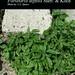"Parietaria diffusa Mert. ex W.D.J. Koch, Urticaceae • <a style=""font-size:0.8em;"" href=""http://www.flickr.com/photos/62152544@N00/6596773863/"" target=""_blank"">View on Flickr</a>"
