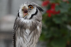 What!!! (Takashi(aes256)) Tags: bird japan niceshot owl shizuoka koko 鳥 kakegawa kachoen 静岡 フクロウ 花鳥園 ココ 掛川 southernwhitefacedscopsowl canoneos7d アフリカオオコノハズク canonef100mmf28lmacroisusm