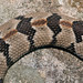 Young Timber Rattlesnake