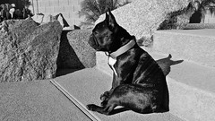 Hunchback (Lainey1) Tags: leica arizona bw dog sun rock stairs cement canine bulldog frenchie frenchbulldog pup poolside pooch chandler bully lightshadow sunbathing ozzy sunning frogdog dianeshouse thelittledoglaughed leicadlux4 dlux4