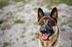 throw a dog a bone (manyfires) Tags: dog film home animal 35mm furry bokeh canine iowa nikonf100 germanshepherd wyatt animalscape ilikemyreflectioninhiseyes