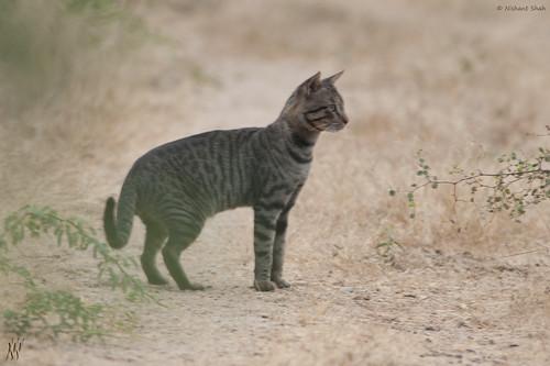 Cat Hybrid Anime Hybrid Jungle Cat
