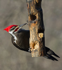 _MG_7221 Pileated 2012 (Isabel Cutler) Tags: malepileatedwoodpecker