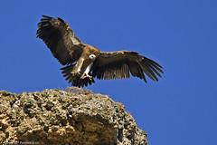 Aterrant - Aterrizando - Landing (2) (McGuiver) Tags: canon vulture buitre leonado griffon comu nbw voltor canoneos400d sigma150500