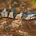 Plainbelly Water Snake