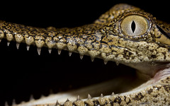 Freshwater crocodile - Crocodylus johnstoni (Evan Pickett) Tags: brown black animal gold reptile alligator tan australia crocodile qld queensland animalia reptilia gulfofcarpentaria canonefs60mmf28usmmacro freshwatercrocodile pogonabarbata crocodylidae crocodilia speedlite580exii evanpickett canoneos550d
