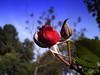 FASES (Ricardo Venerando) Tags: flowers red roses flores flower macro green nature brasil garden natureza olympus explore abc discovery soe naturesfinest conservacion nationalgeografic abcpaulista diamondclassphotographer ysplix grandeabc goldstaraward fotocultura