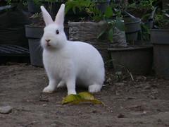 [Rabbit] I am listening (holyrabbit) Tags: konijn conejo coelho lapin kaninchen coniglio arnab    conill    kelinci  ternakuangbersamakelinci faizmanshur kelincidomestik bukukelinci