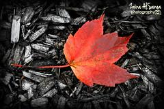 autumn leaf (Zaina Al-Sanea) Tags: pink autumn orange fall leaf zaina alsane alsanea