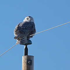 What a treat : ) (annkelliott) Tags: winter wild canada bird nature birds lumix seasons windy alberta owl pointandshoot perched sideview powerpole ornithology avian bubo snowyowl strigidae femaleorjuvenile beautyinnature southernalberta buboscandiacus beautifulexpression annkelliott eastofcalgary dmcfz40 fz40 panasonicdmcfz40 p1250761fz40 nearlangdon