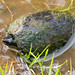 AHS 2006 Spring Field Trip / Common Musk Turtle