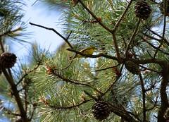 DSC_0715 (Upstate Dave) Tags: birds warbler pinebush prairiewarbler