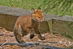 FOX PUP 002
