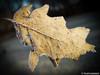 Blatt mit Eiskristallen 17.01.2012