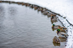 Free Parking (Paarma) Tags: winter snow duck helsinki dof snowfall 366 366project ginordicjan12