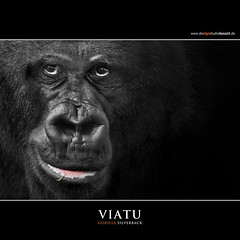 VIATU (Matthias Besant) Tags: animal animals mammal deutschland monkey tiere hessen gorilla ape monkeys mammals apes fell tier affen primates silverback affe primat silberruecken hominidae primaten querformat saeugetier saeugetiere menschenaffen hominoidea trockennasenaffe menschenartige mygearandme blinkagain bestofblinkwinners asquaresuperstarstemple flickrstruereflection1 eltringexcellence affenfell menschenartig affenblick rememberthatmomentlevel3 matthiasbesantphotography