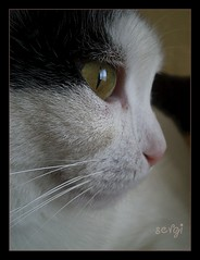 big beautiful best (sevgi_durmaz) Tags: cat big eyes best lovely 1001nights beautful pamuk ringexcellence