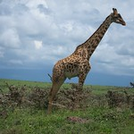 "Giraffe <a style=""margin-left:10px; font-size:0.8em;"" href=""http://www.flickr.com/photos/14315427@N00/6741605475/"" target=""_blank"">@flickr</a>"