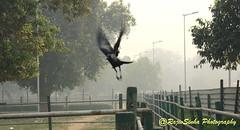 Crow (RajivSinha Photography) Tags: crow indiagate rajivsinhaphotography