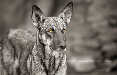 The Guardian (Harvarinder Singh) Tags: dogs nature guardian animalsinart harvarindersinghphotography harvarindersingh