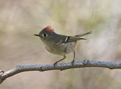 ruby crowned kinglet (robert salinas) Tags: birds austin texas bigma wildlife sigma a700 avianexcellence birdperfect