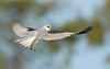 WHITE-TAILED KITE (sea25bill) Tags: california morning blue winter light sky sun bird birdofprey whitetailedkite