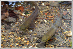 Fish Brown Trout 01a (Magic Moments by Pippa) Tags: fish wildlife rivers british streams trout