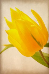 Solitary Beauty! (Deborah S-C (InTheFairyGarden)) Tags: lighting white flower macro green texture floral fleur leaves yellow gold one leaf petals stem flora bright blossom january single tulip only bloom overexposed ochre tulipa flowers2012~january