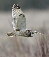 (Dan Belton ( No Badger Cull )) Tags: winter bird nature birds january short owl 2012 eared asioflammeus