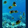 A spasso con Yelly, nuovi incontri - Swimming with Yelly, new meetings (37) (Jambo Jambo) Tags: sea mare redsea egypt sharmelsheikh pesci reef fishes angelfish egitto corals butterflyfish yelly barrieracorallina redseabannerfish marrosso coralli pesceangelo pescefarfalla jambojambo mygearandme mygearandmepremium mygearandmebronze mygearandmesilver mygearandmegold mygearandmeplatinum mygearandmediamond samsungwp10 slashedbutterflyfish