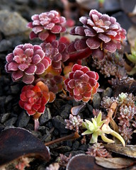 Winter Sedum (jacki-dee) Tags: winter cold oregon garden frost sedum sedumspathulifolium sedumspathulifoliumrogueriver