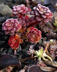 Winter Sedum (jacki-dee) Tags: winter cold oregon garden frost sedum sedumspathulifolium sedumspathulifoliumrogueriver