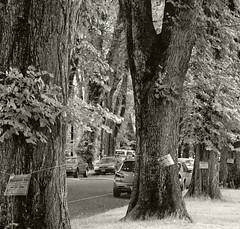 Trees in Ladd's Addition (sandy richard) Tags: usa oregon portland unitedstates sandyrichard sandrarichard