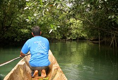 Along the Mangroves (cowyeow) Tags: black nature water river dark indonesia island coast boat reptile snake hunting biting bite rowing aggressive morph snakes sulawesi rare indonesian herp hunt bitey herps venomous venom herpetology buton treesnake blackmorph boiga herping snakehunting mangrovesnake dendrophila patternless boigadendrophila butonisland lambusango gemmicincta lambusangoforestreserve sulawesimangrovesnake boigadendrophilagemmicincta