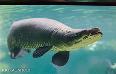 Arapaima (guitar fish) Tags: nationalzoo arapaima amazoniaexhibit january2012gwapameeting gwapajan2012