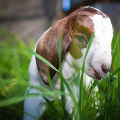 Peekaboo (TC Morgan) Tags: california ranch ca boy baby trooper cute love beautiful grass canon boer kid peace farm f14 peekaboo goat happiness goats newborn 7d buck boergoat boers buckling bottlebaby 24l tcmorgan insightranch tcvisionary