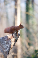Un cureuil  sur un tronc, Red Squirrel (Zed The Dragon) Tags: wild animal french geotagged effects photography soleil photo squirrel squirrels flickr minolta photos sony apo full f45 frame fullframe alpha antony animaux foret parc postproduction spec franais sal zed 2012 francais sceaux lightroom cureuil sauvage effets 200mm ecureuil parcdesceaux iso500 24x36 a850 0004sec sonyalpha hpexif parcsceaux dslra850 alpha850 zedthedragon mosaique2012a