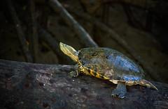 costarica22 (aconteci) Tags: wild climb turtle