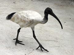 Ibis IMG_8751 (OZinOH) Tags: bird zoo sydney ibis nsw whiteibis tarongazoo australianwhiteibis threskiornismolucca threskiornis sydneynsw threskiornithidae threskiornismoluccus